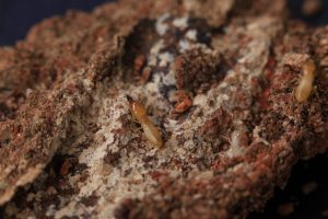 pest control paddington - ants birds rodents removal and management - pre purchase termite inspections in paddington