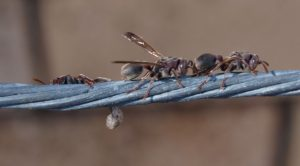 Rodents-Birds-Ants-Pest-Control-Red-Hill-QLD