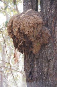 Arboreal termite nest image