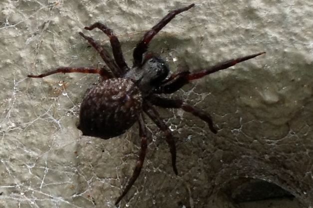Black house spider image