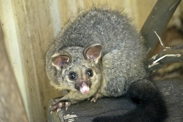 Brushtail possum image