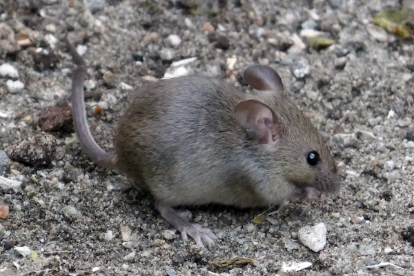 House mouse image