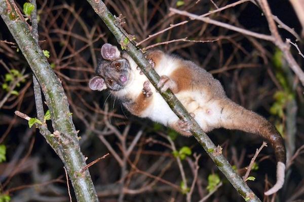 Ringtail possum image