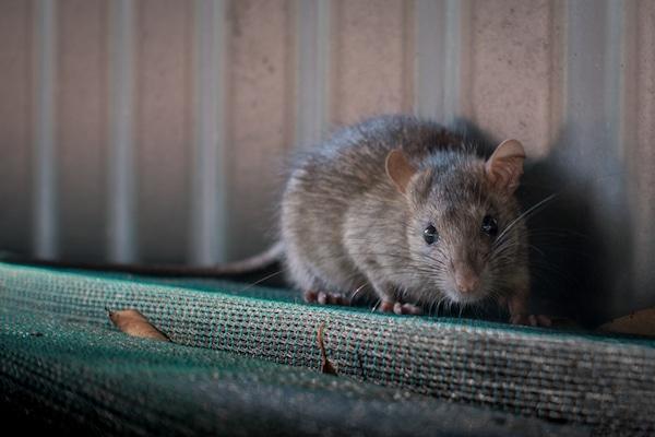 Black or roof rat image
