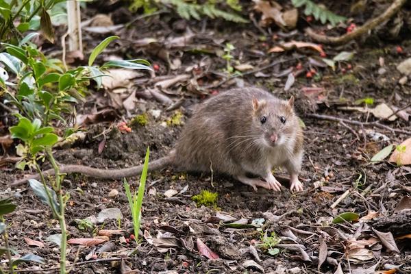 Brown or sewer rat image